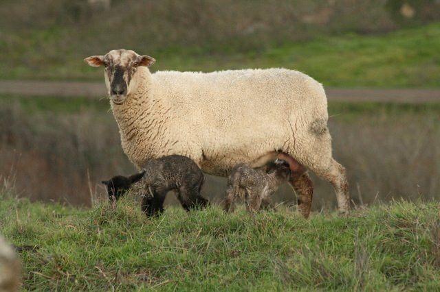 Nb Lambs