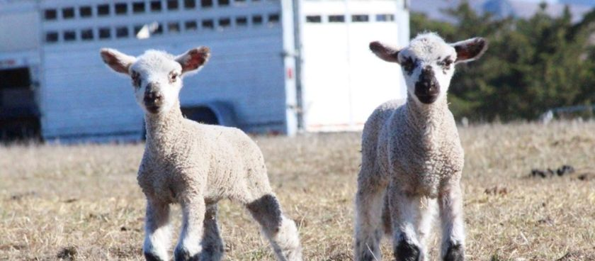 A Day With Our Spring Lambs